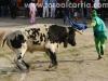 CarnavalToro35