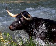Vacas por el Tajo 2011