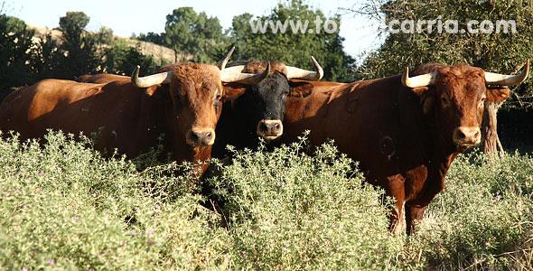 Los toros para Brihuega 2011
