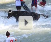 Vídeo de vacas por el Tajo 2011
