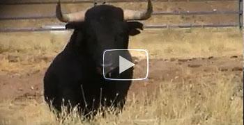 Encierro de Brihuega 2012, los toros