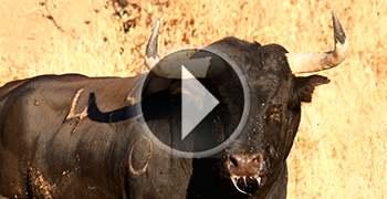 Encierro de Brihuega 2013, los toros