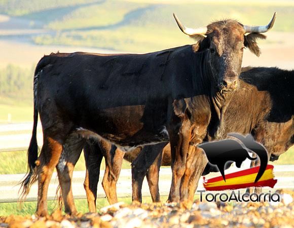 vaca por el tajo 2016