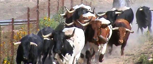 Presentación de los toros de Brihuega 2015