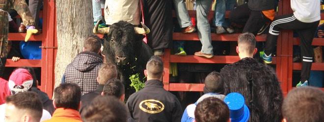 Toro del Antruejo de Ciudad Rodrigo