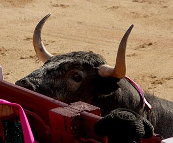 Toro de San Isidro