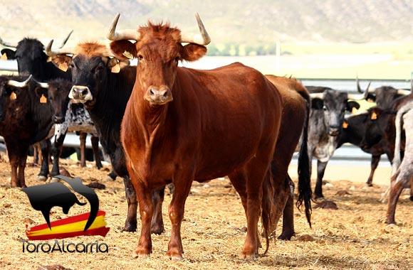 Vaca de la ganadería de José María López adquirida por la Peña Vacas por el Tajo
