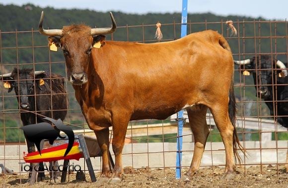 vaca por el tajo