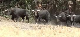 Presentación toros del encierro de Brihuega 2016