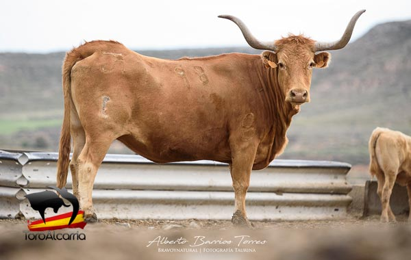 Vaca tajo 2019