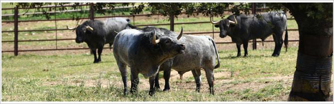 toros y coronavirus