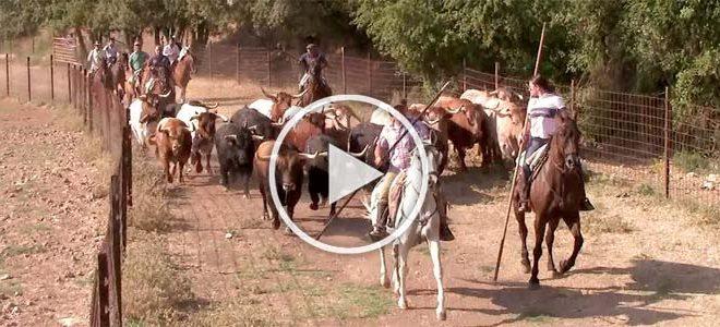 Encierros toros brihuega